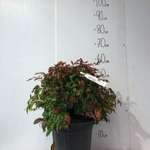 Magnolia ' Soulangeana '