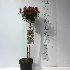 Photinia Fraseri Chico