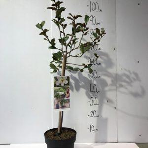 Magnolia ' Gails Favourite '