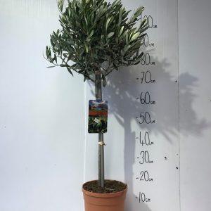 Olea Europaea - ' Mediterra '