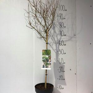 Punica Granatum ' Nana '