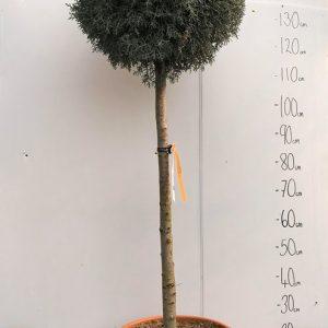 Cupressus Arizonica Fostigiata