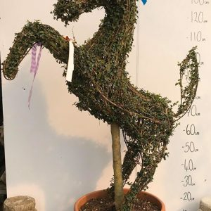 Lingustrum Delavayanun Horse