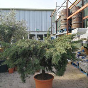 374-Juniperus Old Gold