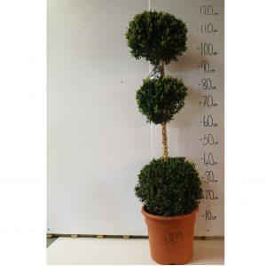 389-Buxus Sempervirens