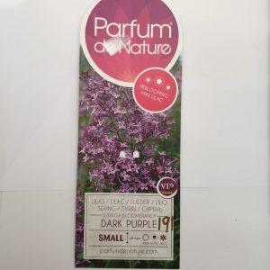 Mini Lilac 'Dark Purple'