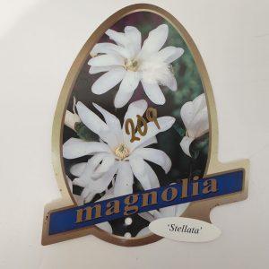 Magnolia ' Stellanta '