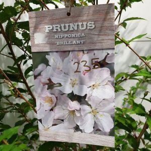 Prunus Nipponica 'Brilliant'