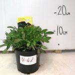 462Coreopsis Grandiflora Presto