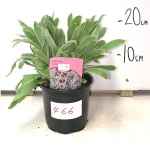 Lychnis Coronaria Pink
