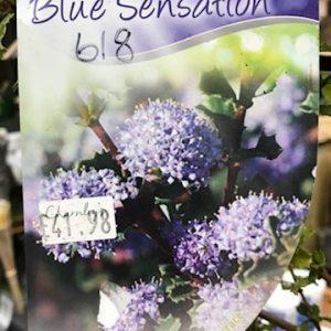 618 - Ceanothus Blue Sensation
