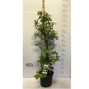 623 - Hydrangea Anomala Petiolaris