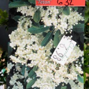 632 - Pyracantha Teton