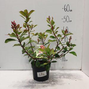 684 - Rhaphiolepis Coates Crimson