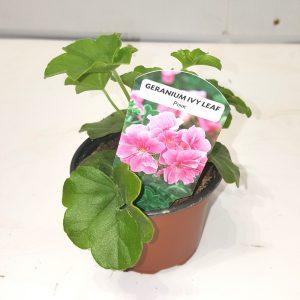 849 - Geranium Ivy Leaf (2)