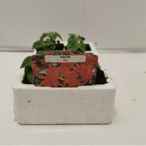 Salvia ( Red )