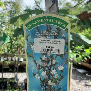 1142 Prunus