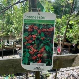 1143 Cotoneaster