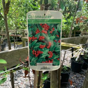 1144 Cotoneaster
