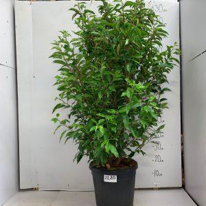 1120 Prunus