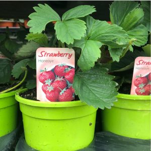 Large Strawberry Pots