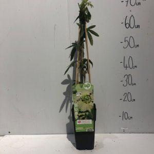 Passiflora Cae Constance Elliot